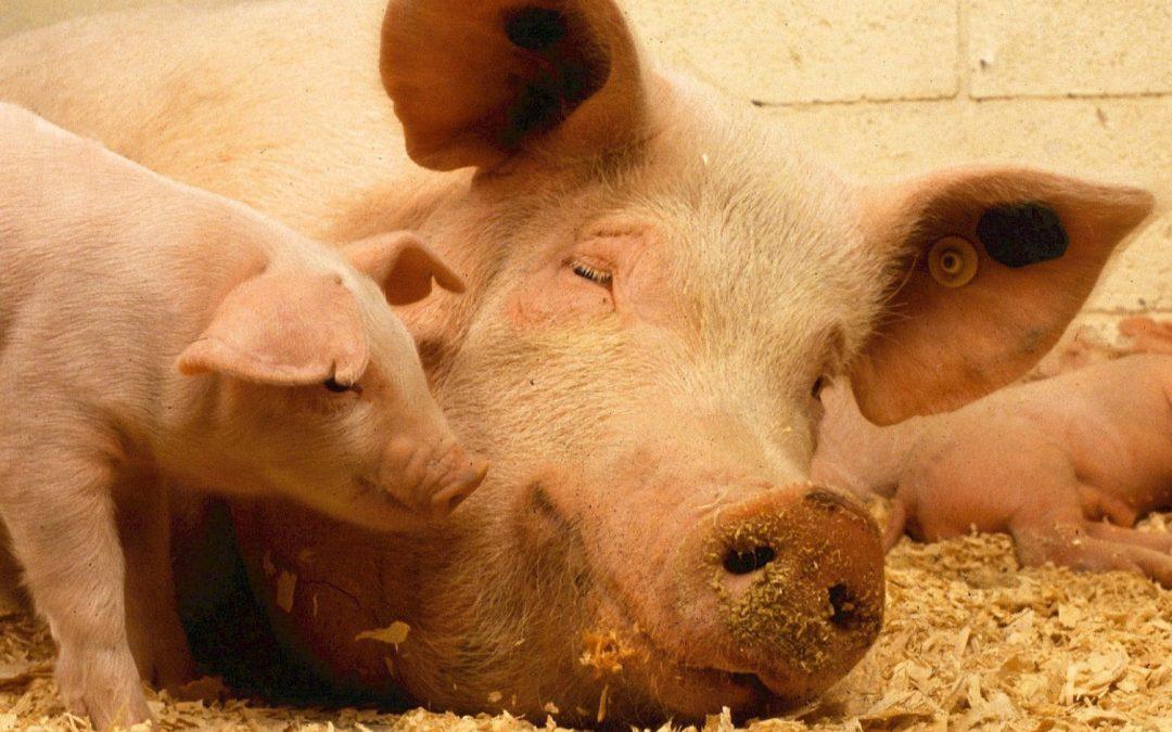 Aktuelle wissenschaftliche Untersuchungen deuten auf eine große Gefährdung der Leber bei laktierenden Sauen