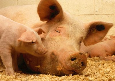 Current scientific studies indicate a serious danger due to liver diseases in lactating sows
